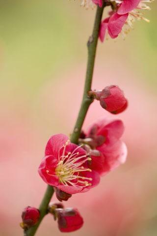 梅 紅梅 花 アップ 春