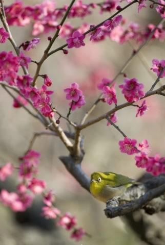 メジロ 野鳥 鳥 紅梅 梅 春