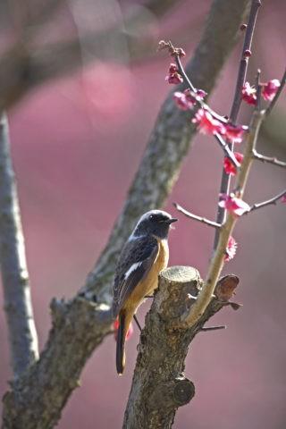 ジョウビタキ 野鳥 鳥 紅梅 梅 春