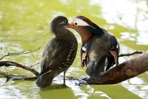 オシドリ カモ つがい 仲良し 野鳥 鳥 池