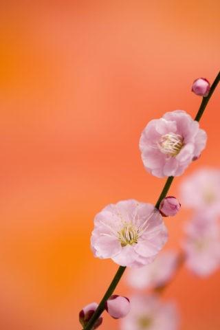 梅 花 八重 アップ 春