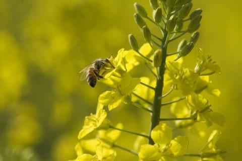菜の花 ミツバチ