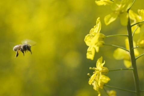 菜の花 飛ぶ ミツバチ