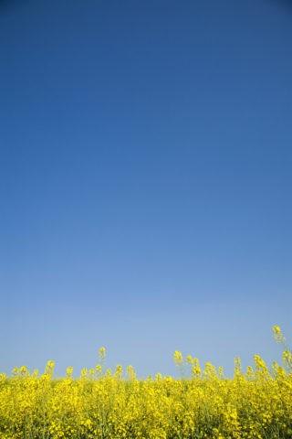 青空 菜の花