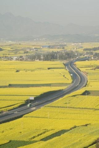 菜の花畑 道路