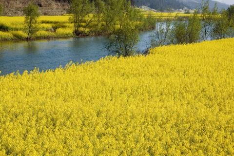 春 小川 菜の花