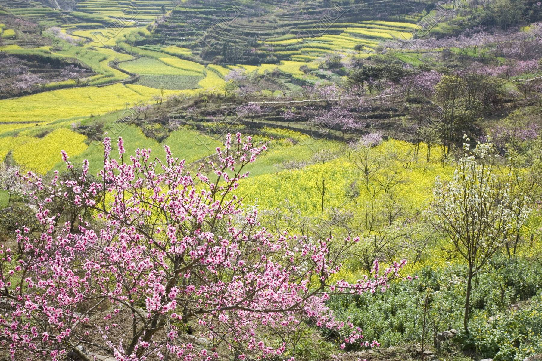 桃 菜の花畑