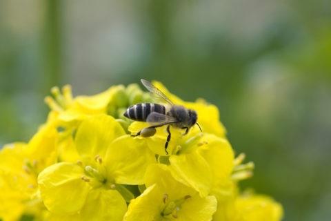 花粉をつけたミツバチ