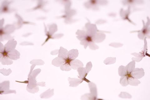 桜 花 花びら