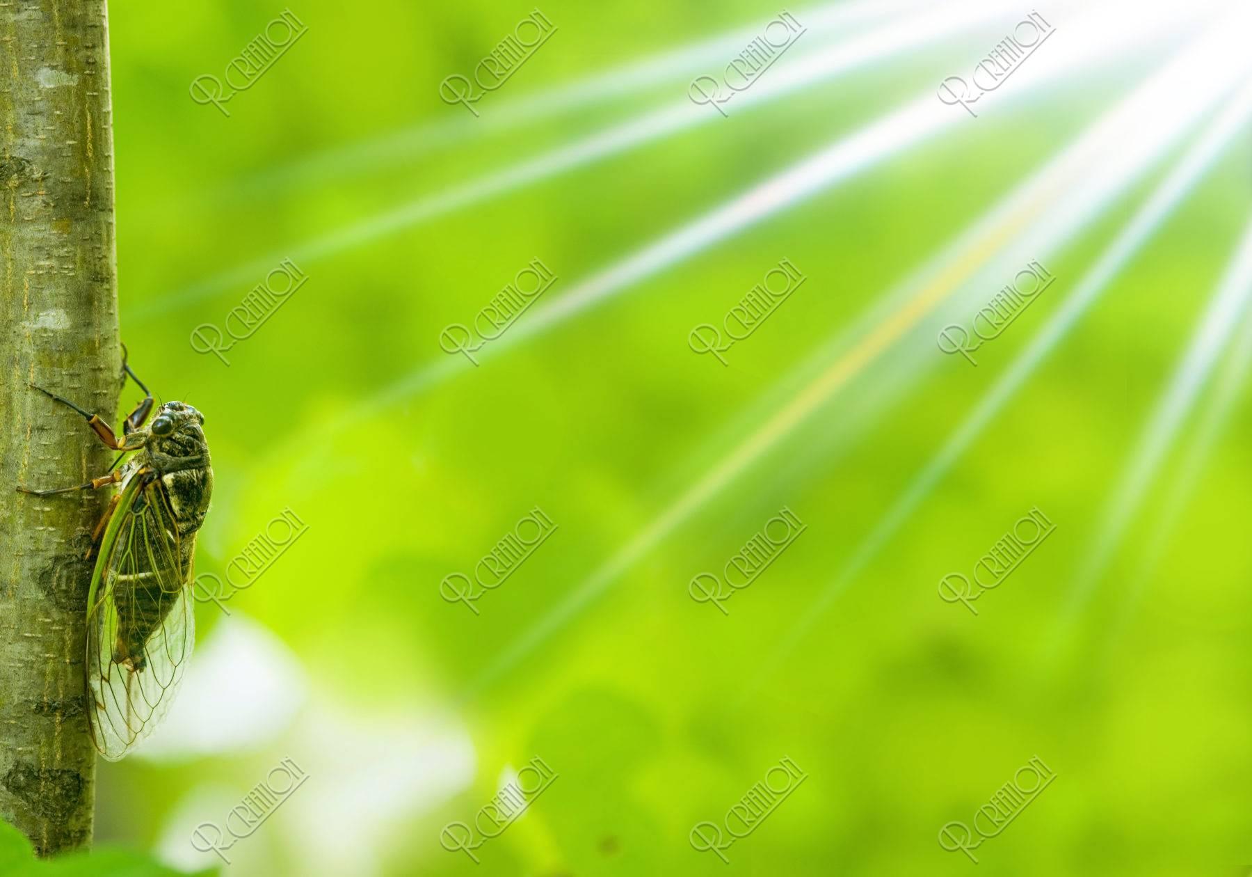 夏の陽射し クマゼミ CG