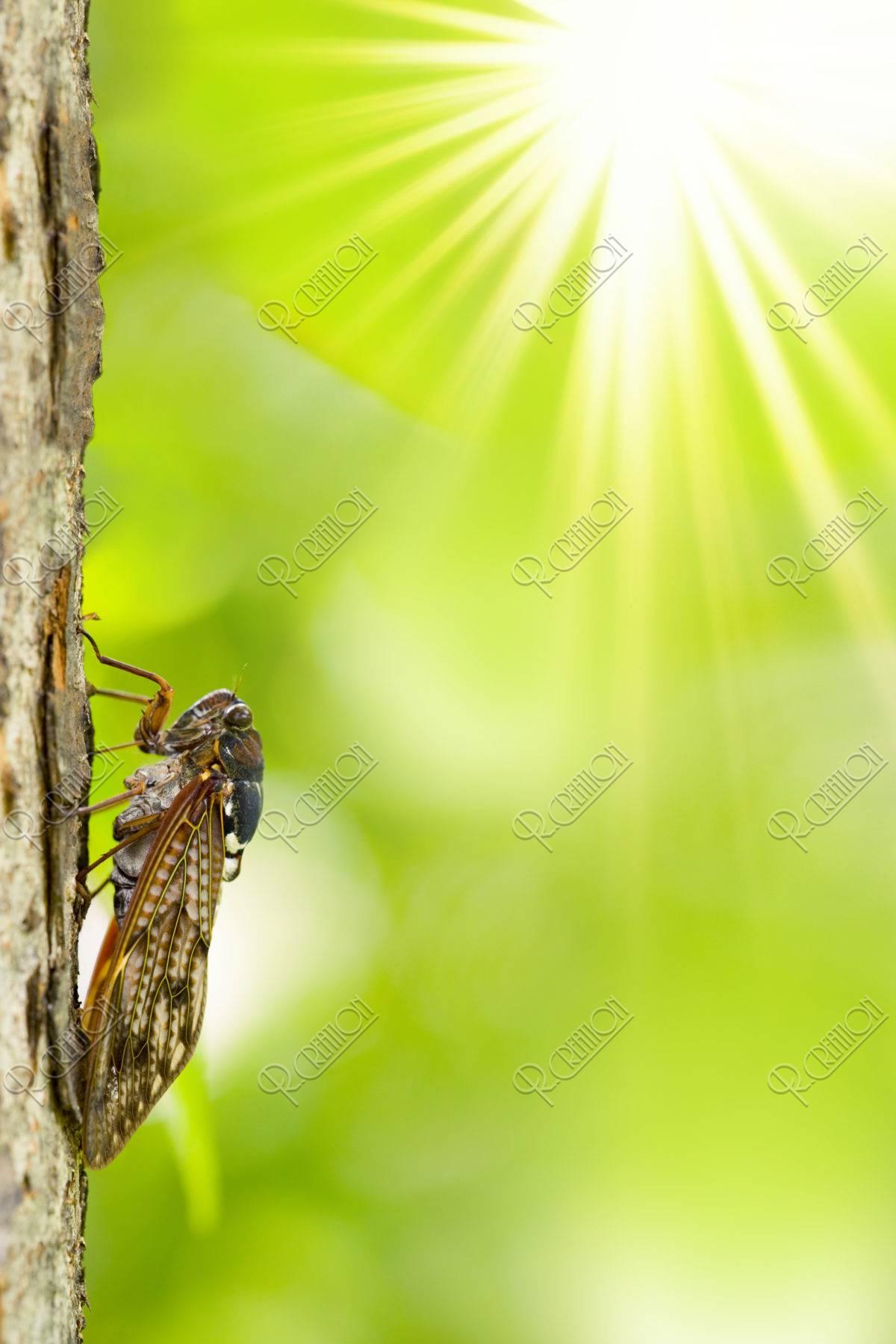 夏の陽射し アブラゼミ CG