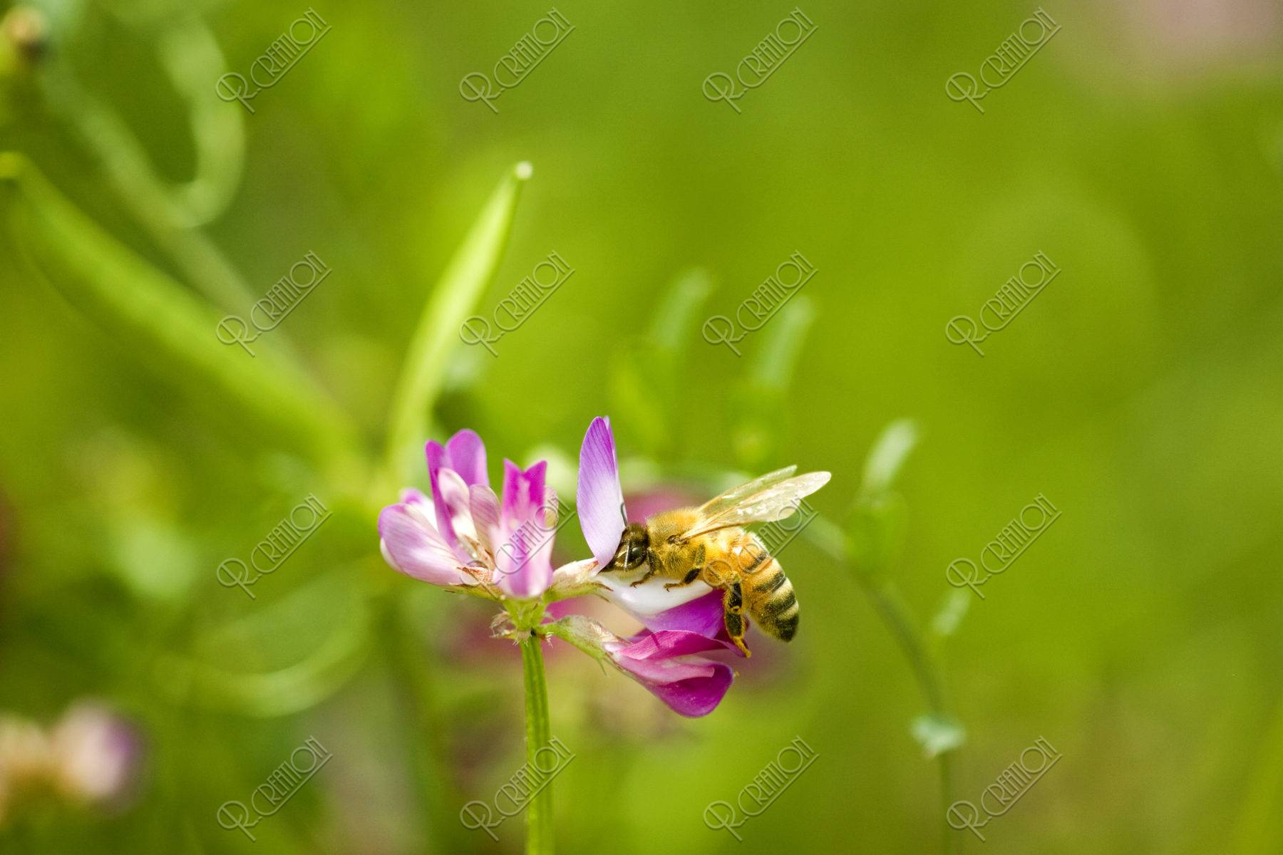 ミツバチとレンゲ