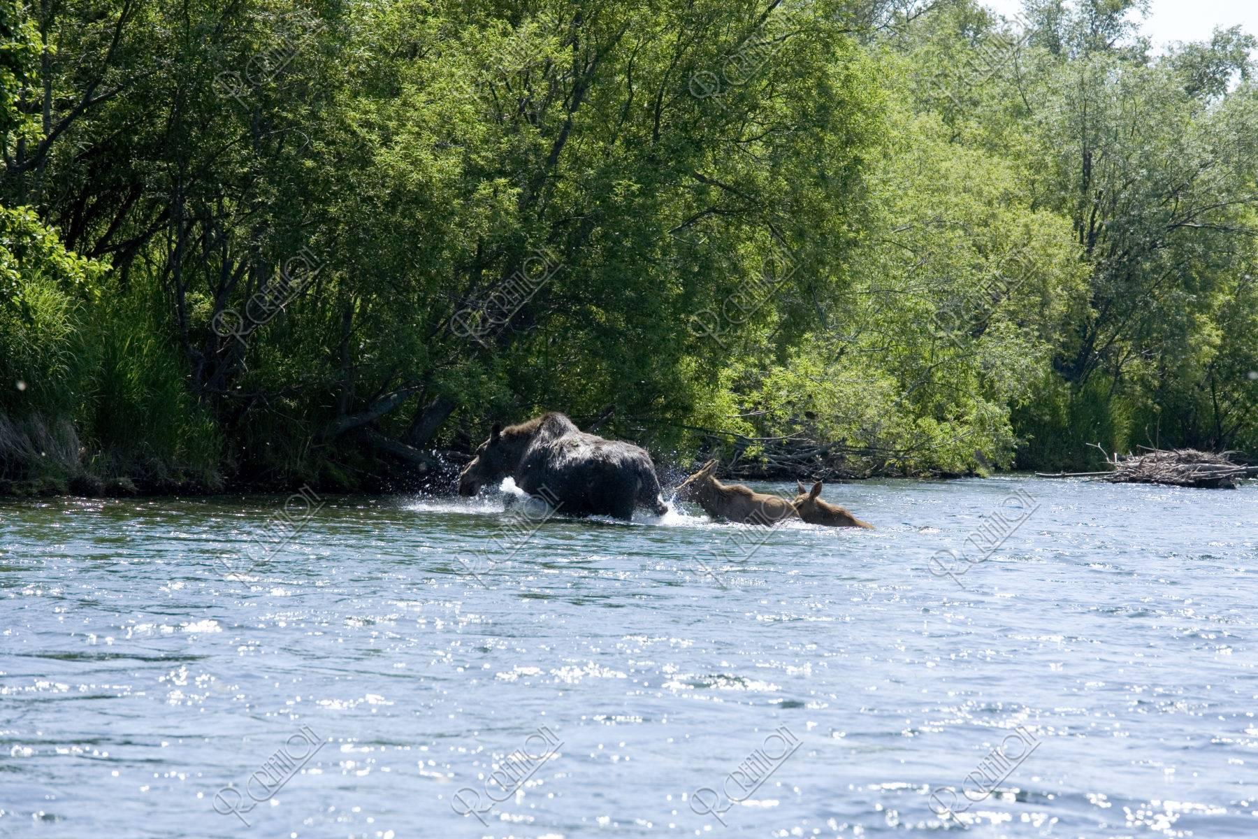 川を渡るムースの親子 ビストラヤ川