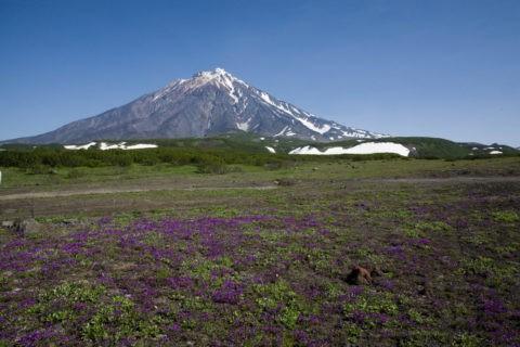コリャクスキー火山とカムチャッカタチエンドウの群落