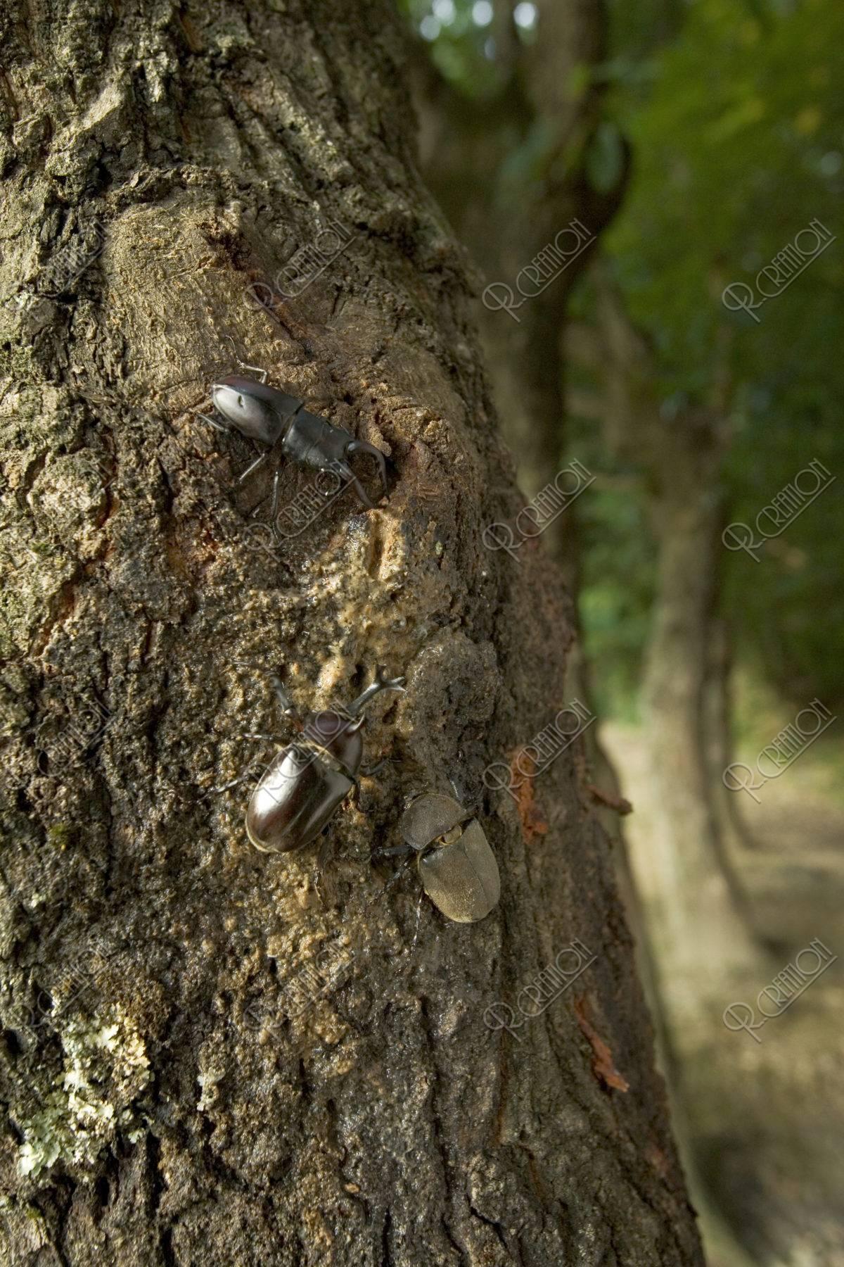 ノコギリクワガタとカブトムシ