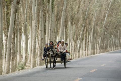 ポプラ並木とロバ車