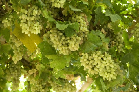 葡萄溝のブドウ