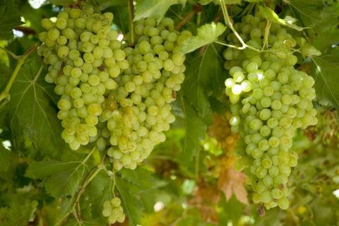 ブドウ棚のブドウ