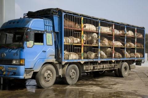 豚の輸送 香格里柆