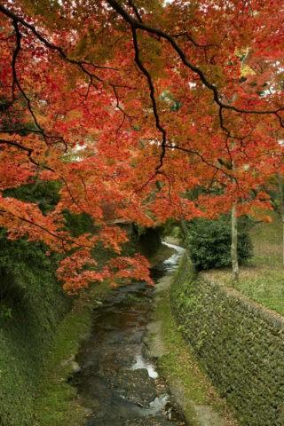 御土居と垂れ下がる紅葉