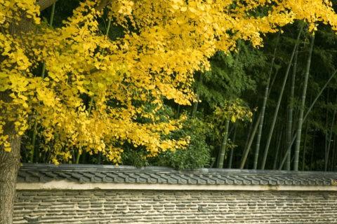 大徳寺の土塀とイチョウ
