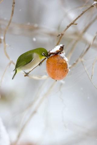 雪の柿とメジロ