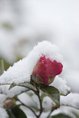 山茶花の蕾と雪