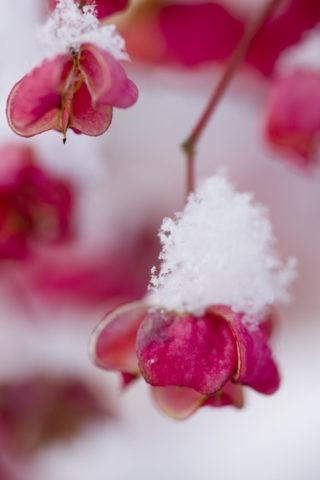 淡雪積もるマユミ