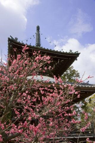 嵯峨清凉寺 多宝塔と紅梅