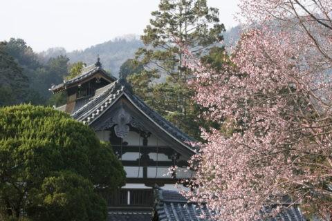 桜と南禅寺天授庵