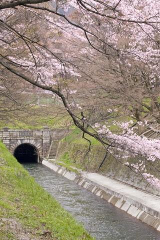 桜と琵琶湖疎水