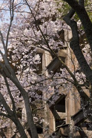 桜と清水寺舞台足組 世界遺産