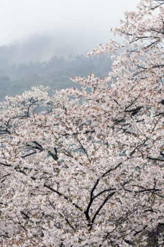 桜と霧の大文字山