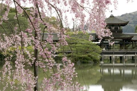 枝垂れ桜と平安神宮橋殿