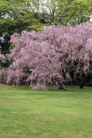 二条城 清流園の桜 世界遺産