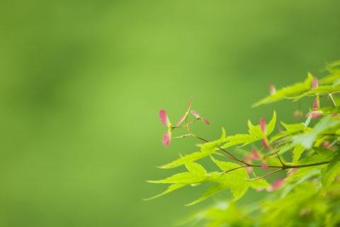 新緑のカエデの実