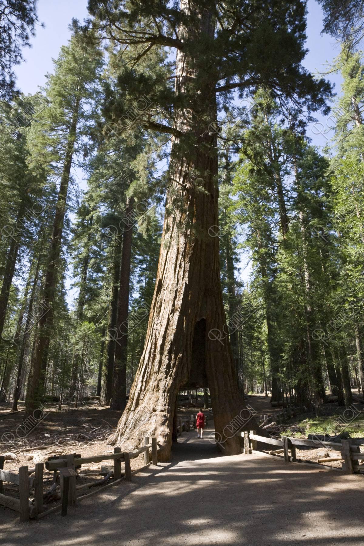 セコイヤ トンネルツリー ヨセミテ国立公園 世界遺産