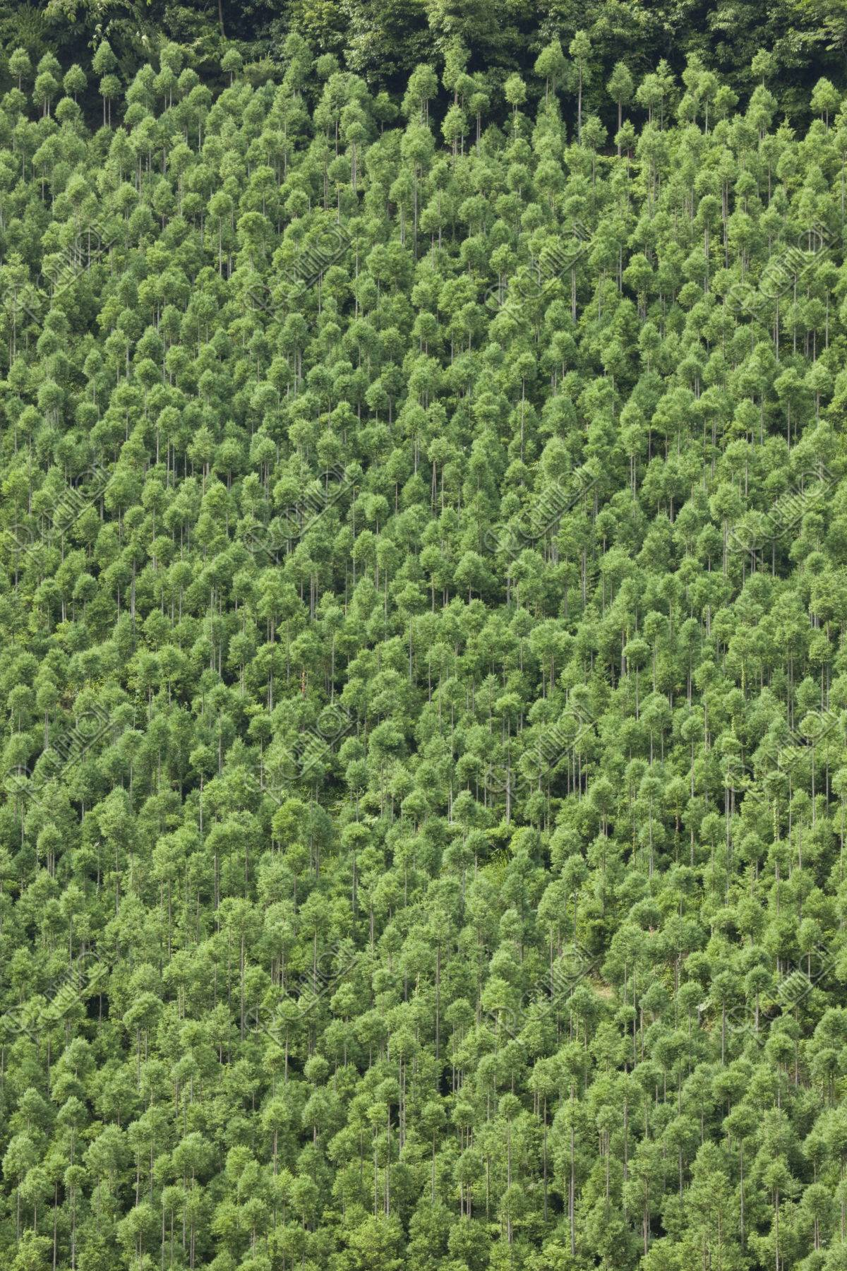 北山杉 台杉