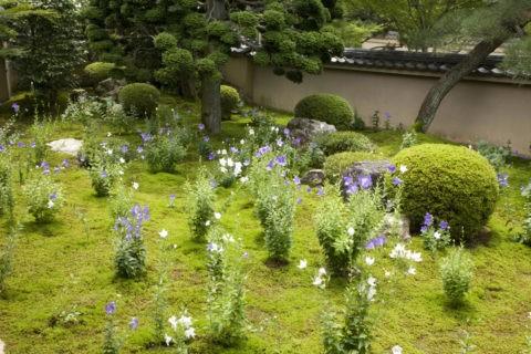 キキョウ咲く天得院庭園