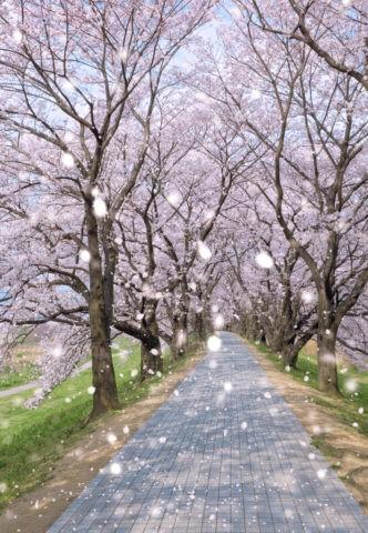 背割堤の桜並木と花吹雪