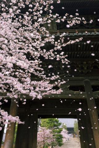 南禅寺三門と桜吹雪