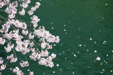 水面と桜吹雪