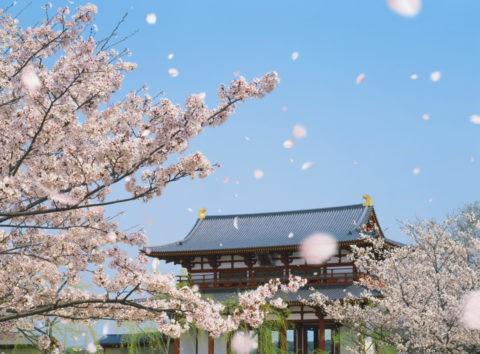 平城京大極殿と桜吹雪