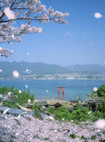 厳島神社と桜吹雪