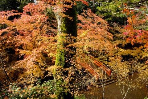 北野天満宮 御土居の紅葉と鶯橋