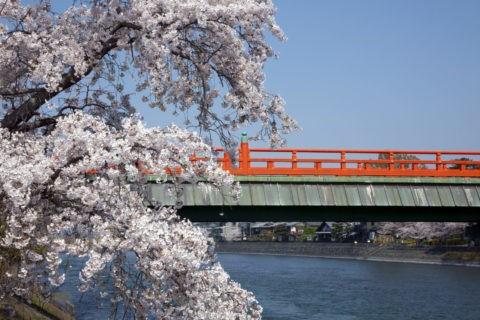 桜と宇治朝霧橋
