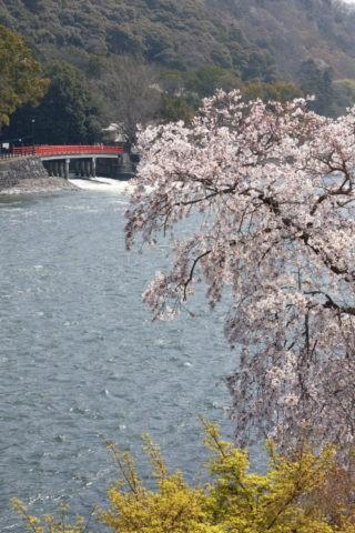 桜と宇治川