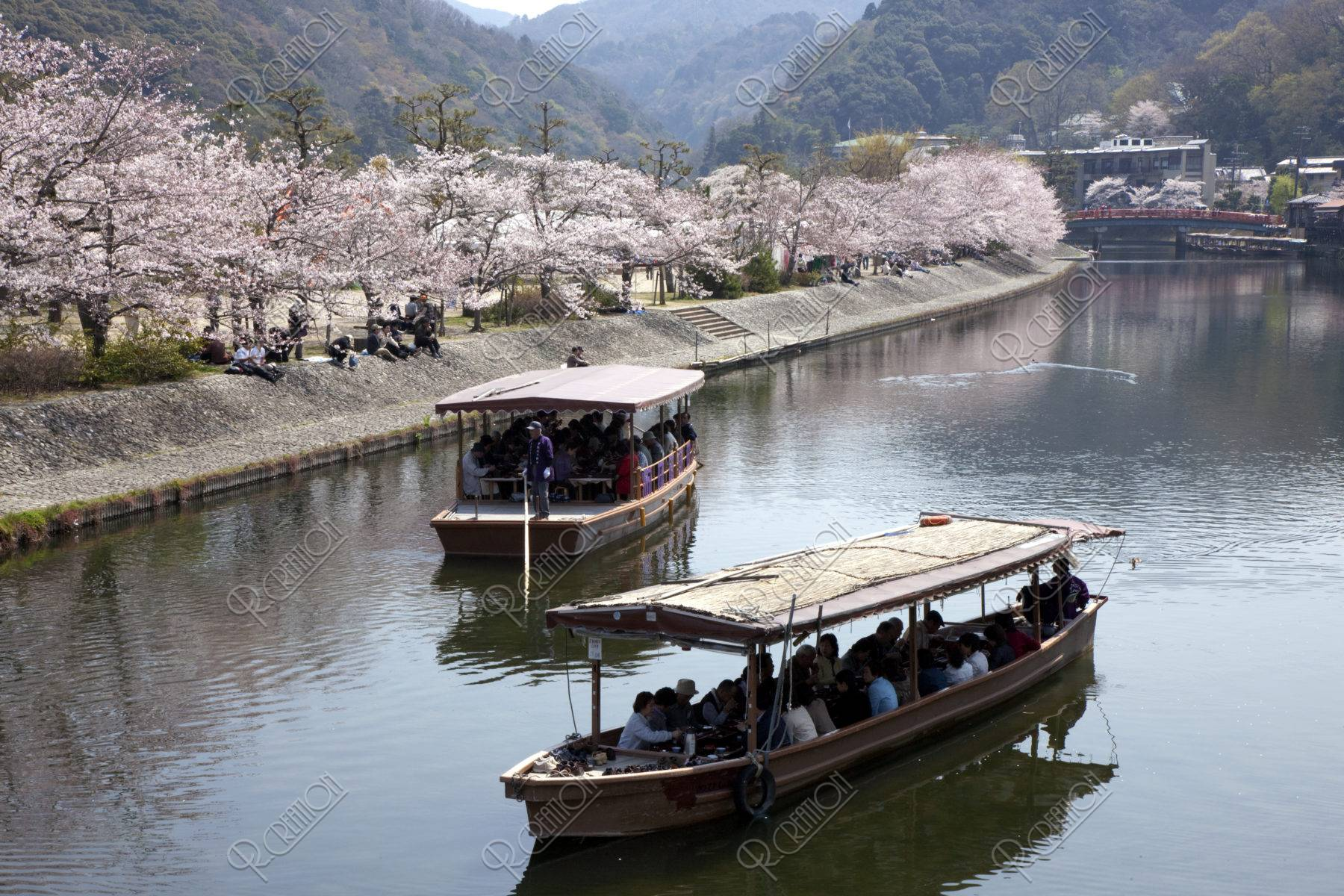 桜と宇治川の遊覧船