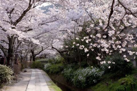 桜の哲学の道