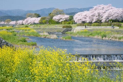 桜と賀茂川